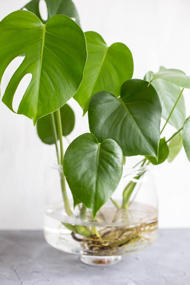 tell a story 9 pflanzen water monstera fr hst ck bei emma. Black Bedroom Furniture Sets. Home Design Ideas