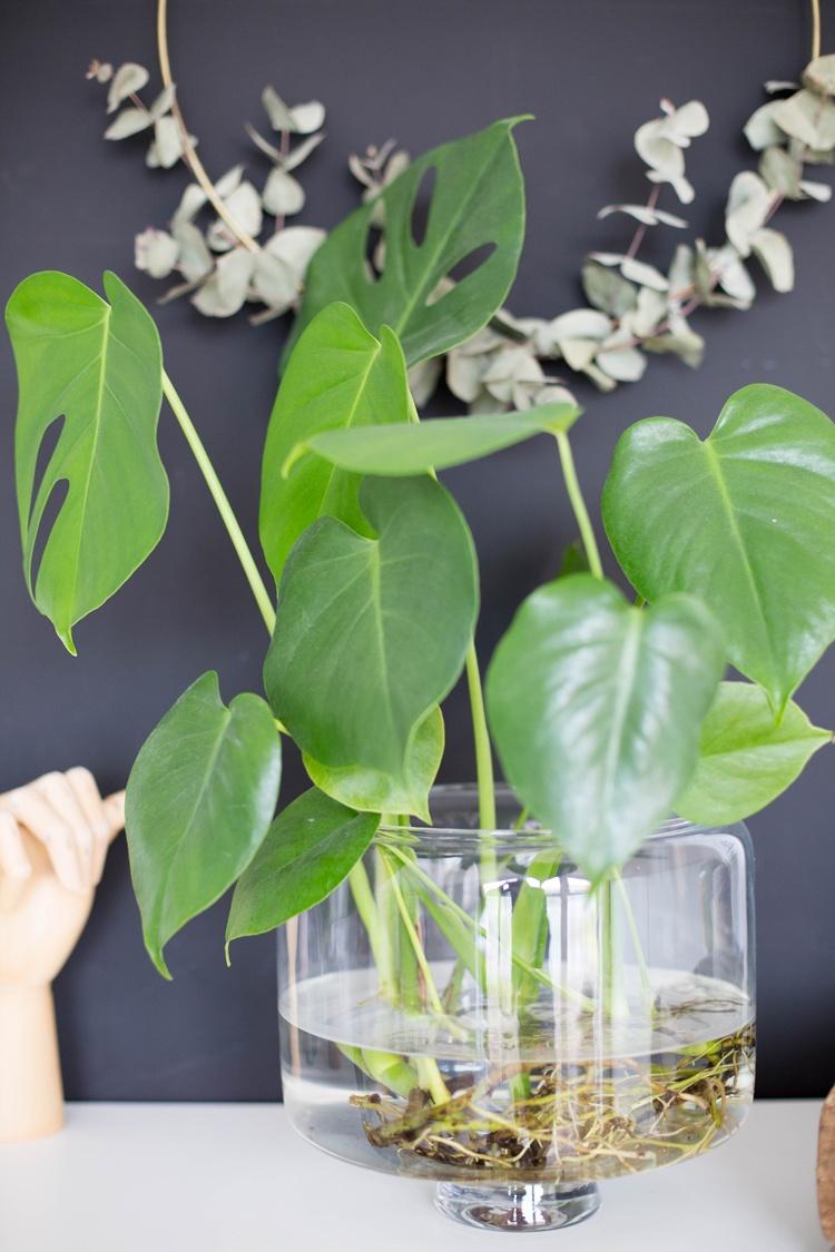 Wasser Monstera Water MonsteraPflanzen Tell a Story #9